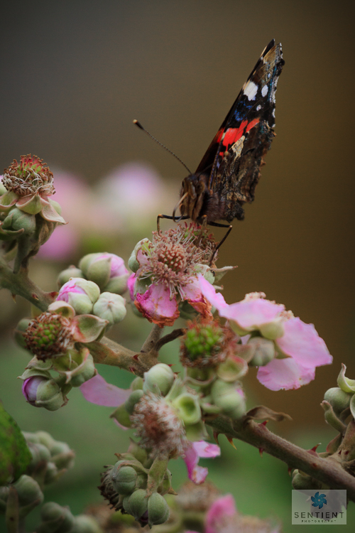 Red Admiral-2