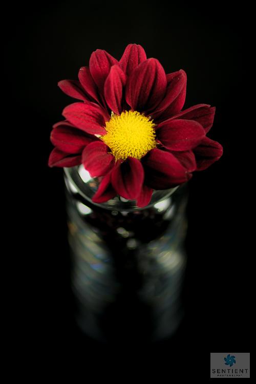 Red Daisy in Shiny Vase