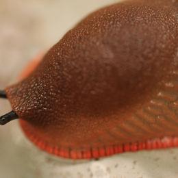 Slug Close Up #1