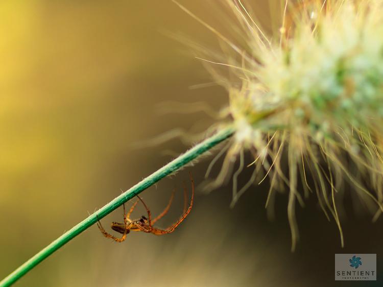 Spider on Grass Stalk, Manchester