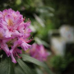 Rhododendron, Sun House Garden
