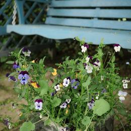 Pansies, Sun House Garden