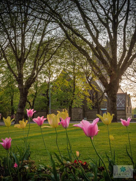 Tulips - Swinton Church