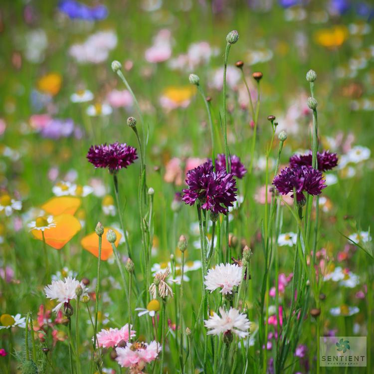 Wild Flower Meadow #5