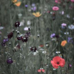 Wild Flower Meadow #7