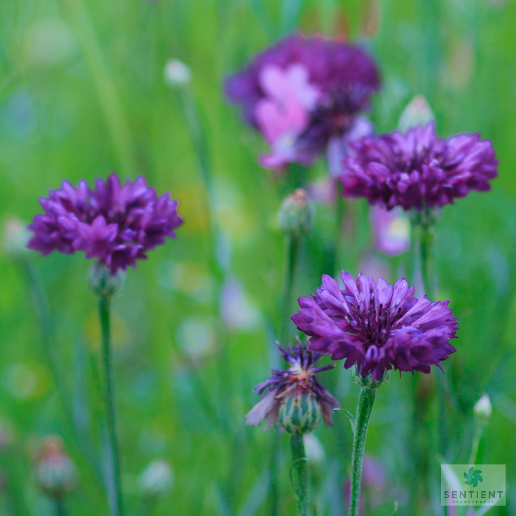 Wild Flower Meadow #8