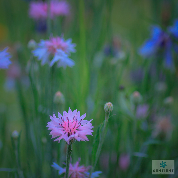 Wild Flower Meadow #1