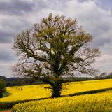Tree in yellow field