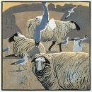 Common gulls and Sheep