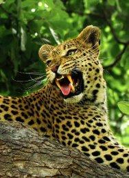 """""""Panthera Pardus"""""""