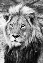 """""""Lion King"""" B&W"""