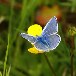 """Common Blue Butterfly"""