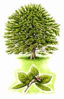 Tree species - Beech