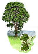 Tree species - Field maple