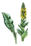 Botanical species - Great mullien