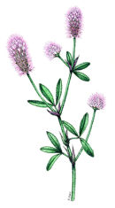 Botanical species - Hare's foot clover