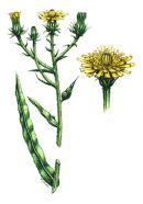 Botanical species - Hawkweed ox-tongue