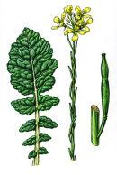Botanical species - Hoary mustard