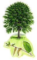 Tree species - Hornbeam