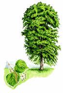 Tree species - Lime