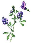 Botanical species - Lucerne
