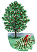 Tree Species - Mountain ash