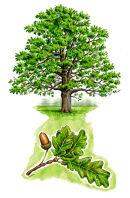 Tree species - Oak