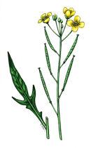 Botanical species - Perennial wall rocket