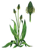 Botanical species - Ribwort plantain