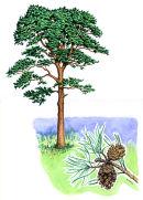 Tree species - Scots pine