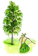 Tree species - Silver birch