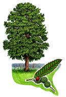 Tree species - Sweet chestnut