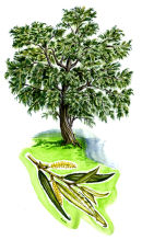 Tree species - White willow