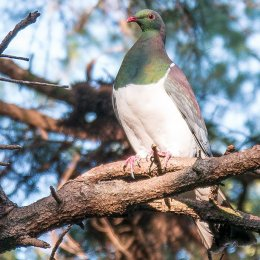 Native Pigeon