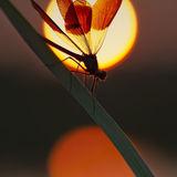 Banded demoiselle at sunset