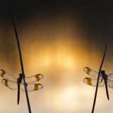 Two band darters