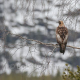 Golden Eagle in tree