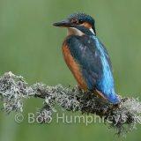 Kingfisher-10
