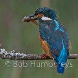 Kingfisher-12