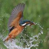 Kingfisher-13