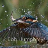 Kingfisher-7