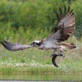 Osprey fishing 3, Aviemore