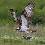 Osprey fishing 4, Aviemore