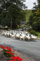 Sheep driving the modern way