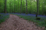 Forest of Dean Bluebells