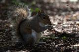 London Holland Park Squirrel
