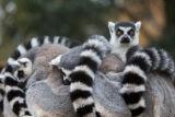 Madagascar Ring Tailed Lemurs