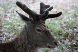 London Richmond Park Deer 1