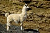 Bolivia Llama 1