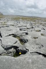 Ireland Burren Dandelion